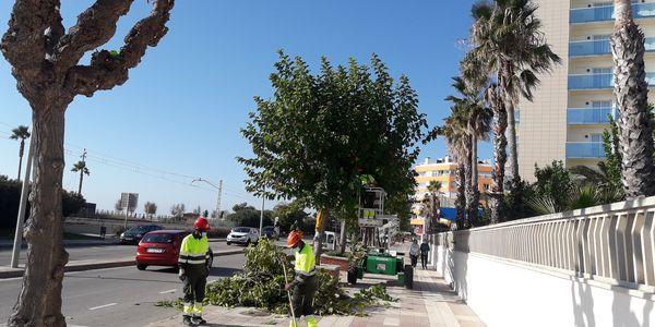 Comença la campanya d'esporga de l'arbrat dels carrers de Pineda de Mar